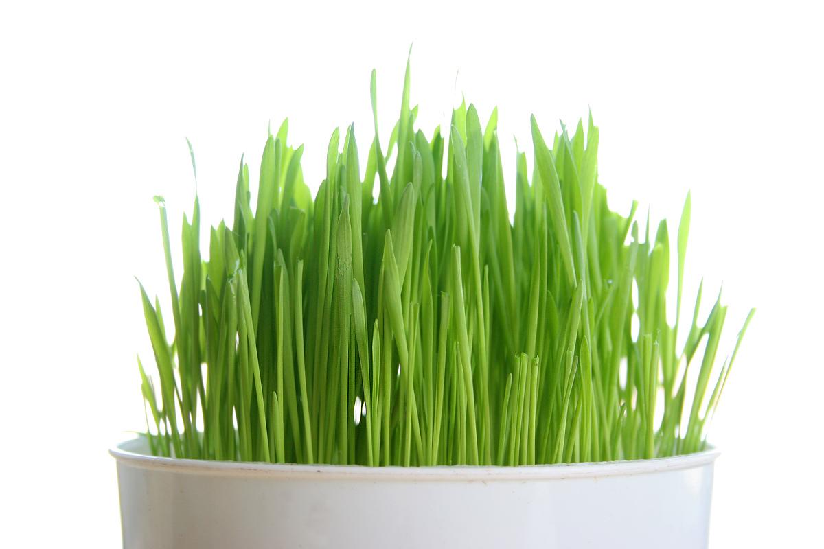Wheatgrass: Detoxify Like Ironman!